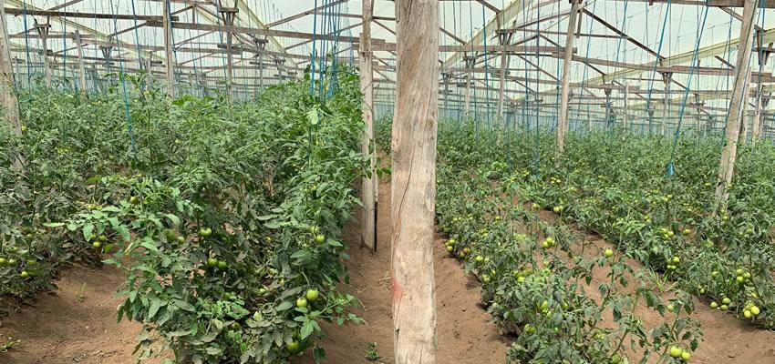 Manejo de plantas injertadas